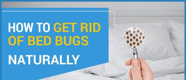 get rip of bed bugs   does lavender repel bed bugs