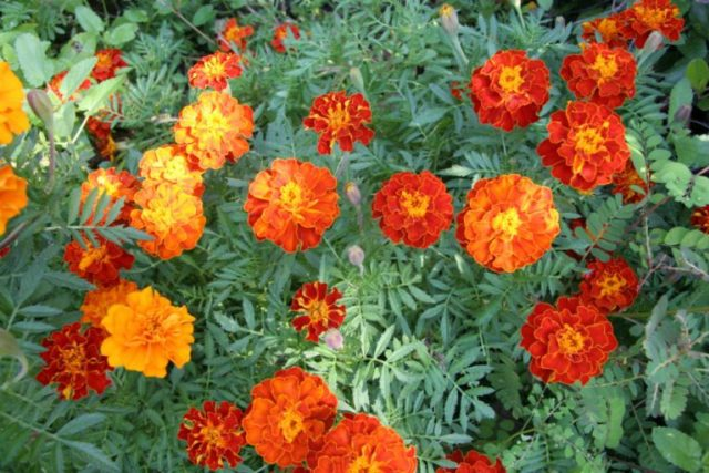 Marigolds Flowers | Plants That Repel Snakes