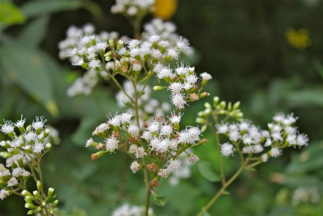 White Snakeroot | Plants That Repel Snakes